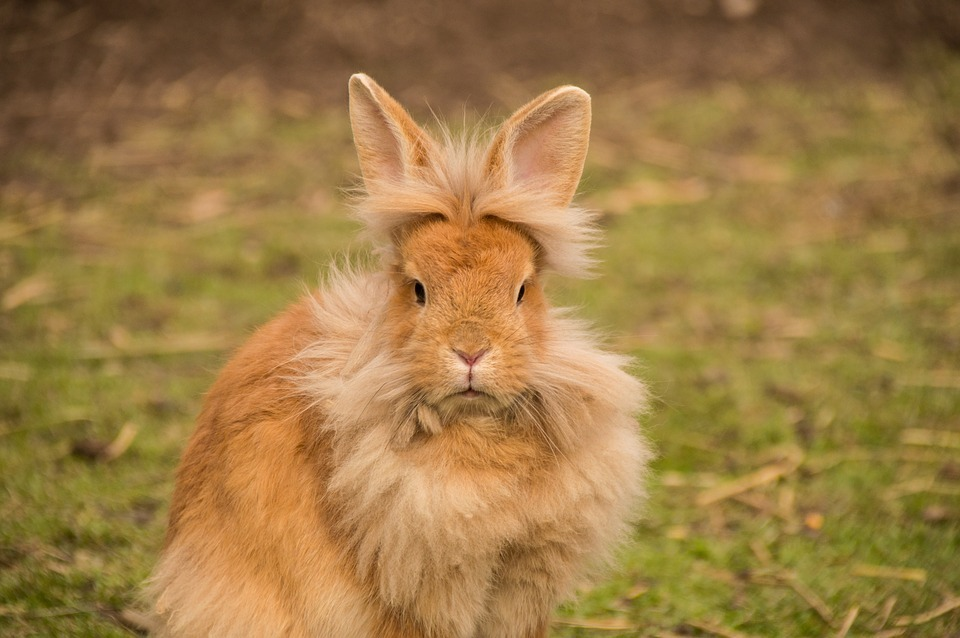 Lionhead Rabbit Care A Guide To Taking Care Of A Lionhead Rabbit