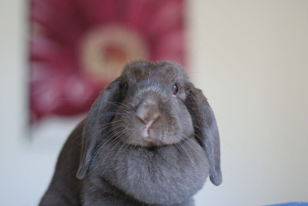 Holland Lop rabbit as Pet