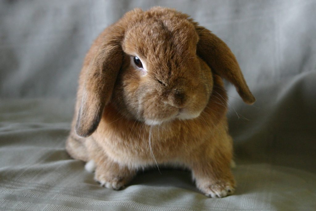 rabbit neutering cost, rabbit spaying cost