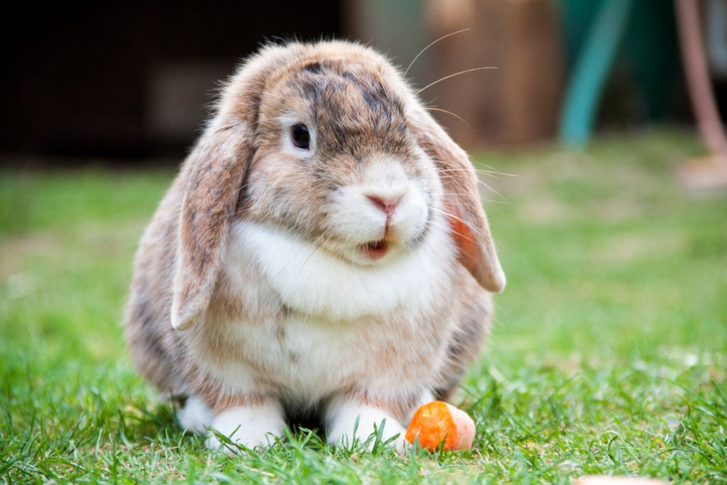 Mini lop vs Holland lop