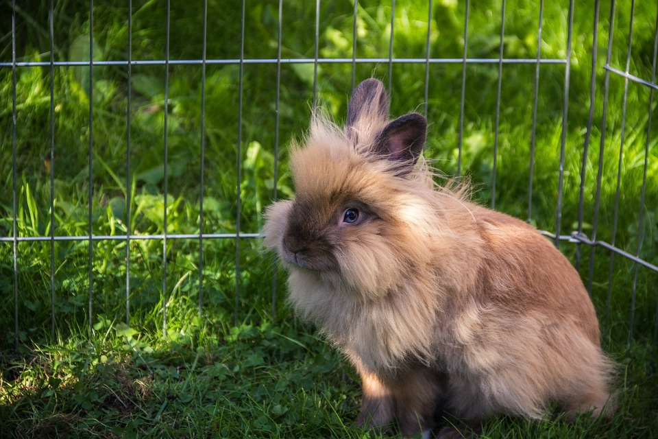 lionhead rabbits for sale