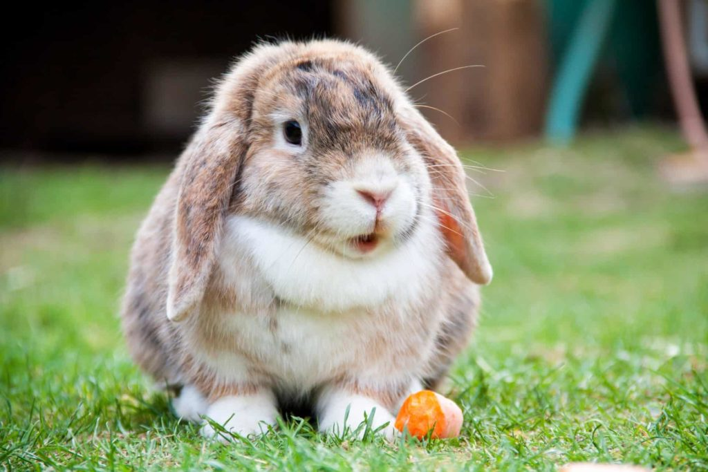 Best Rabbit Breeds for Kids