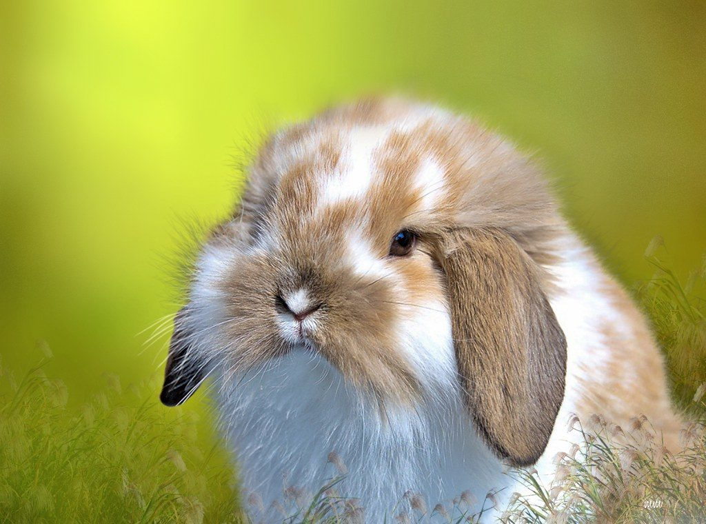 American-Fuzzy-Lop small rabbit breed