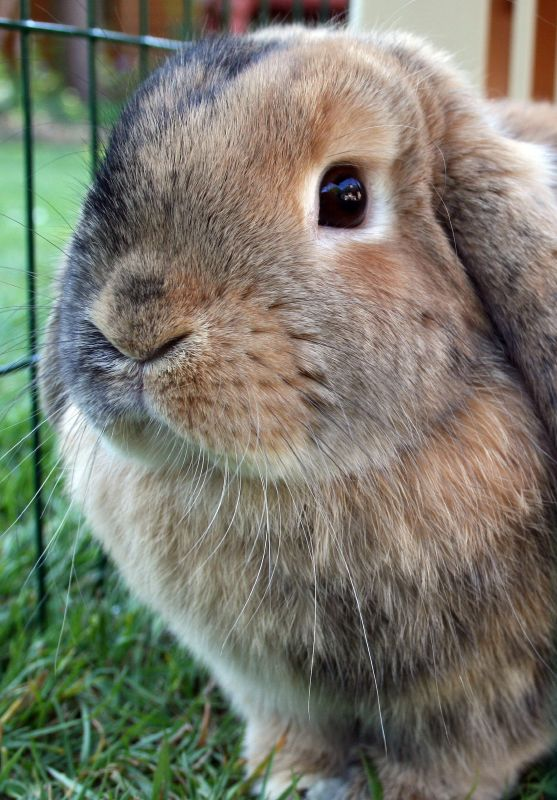 Mini Lop vs holland Lop comparison