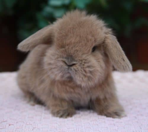 holland lop vs mini lop