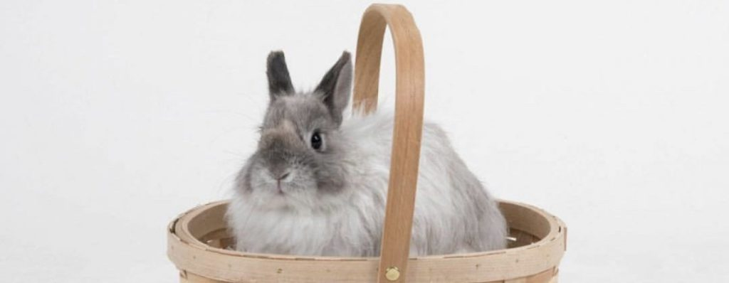 Jersey Wooly small bunny breeds