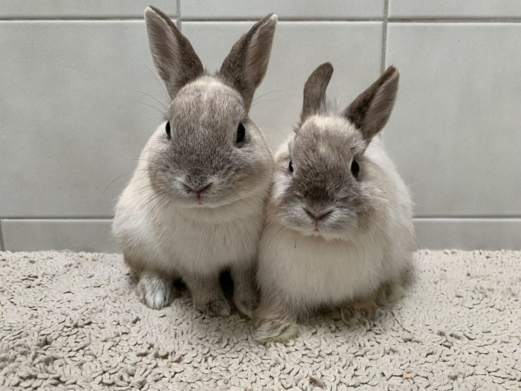 Things To consider Before Getting a Pet Rabbit