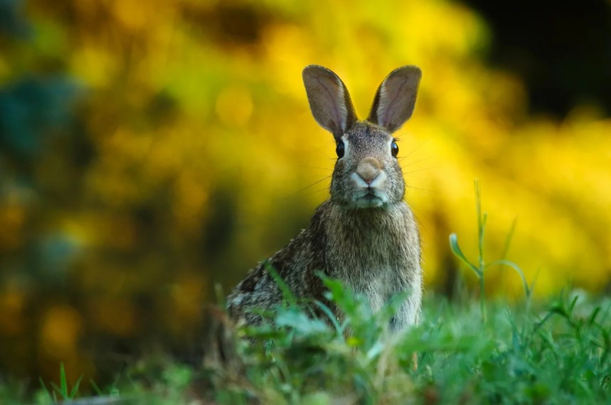 can domesticated rabbit survive in the wild
