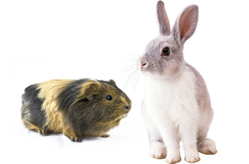 can rabbits and guinea pigs share same cage