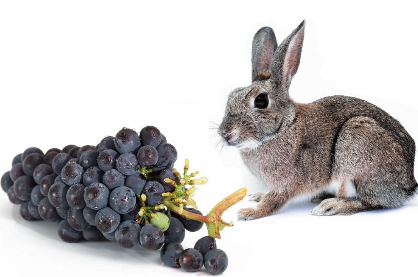 can-rabbits-eat-grapes