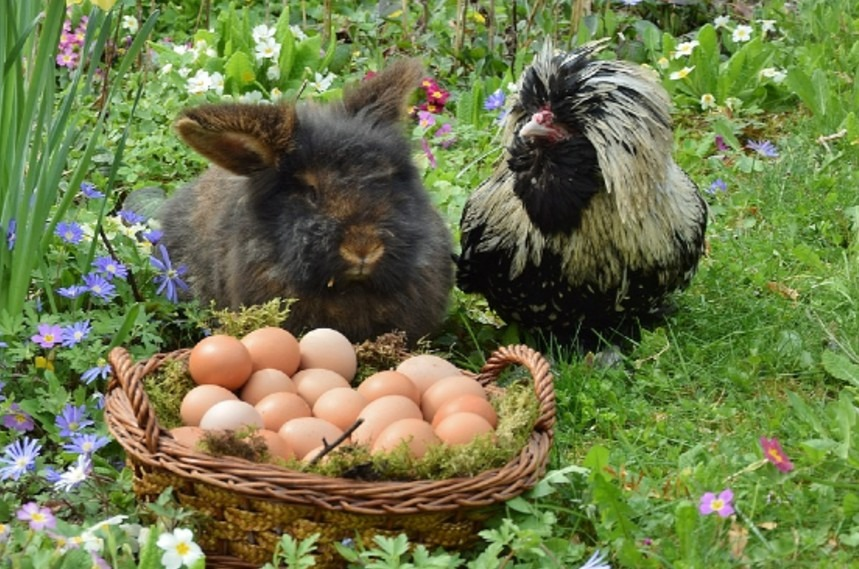 can chickens and rabbits live together