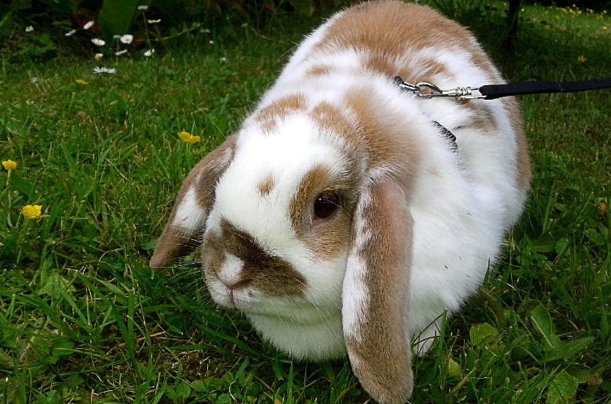 Can Rabbits Wear Collars, Leashes or Harnesses