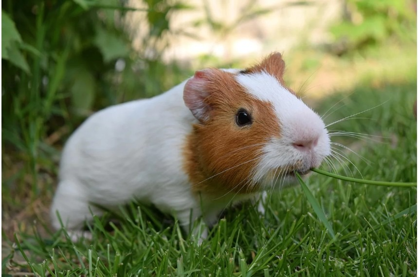 Can Rabbits And Guinea Pigs Live Together and be friends