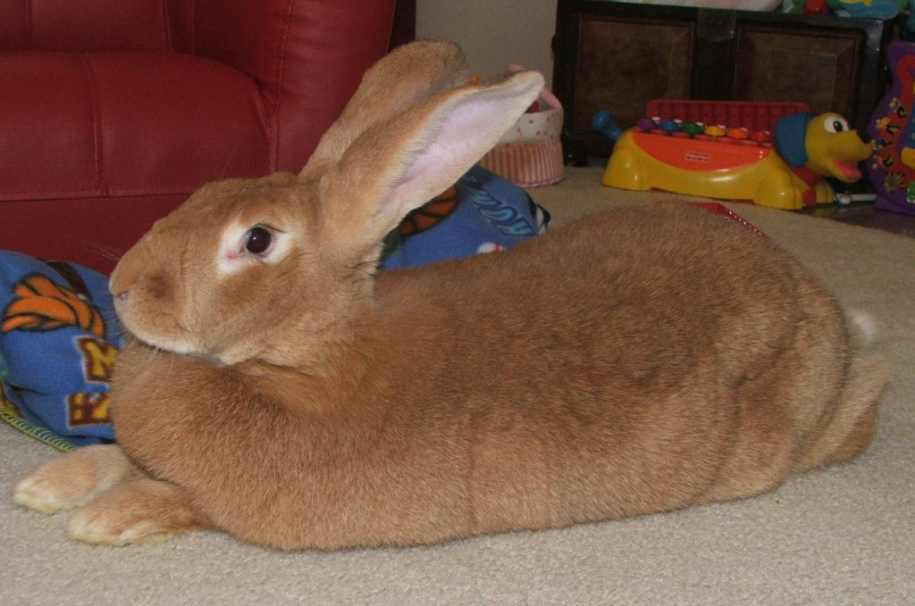 flemish giant largest rabbit breed