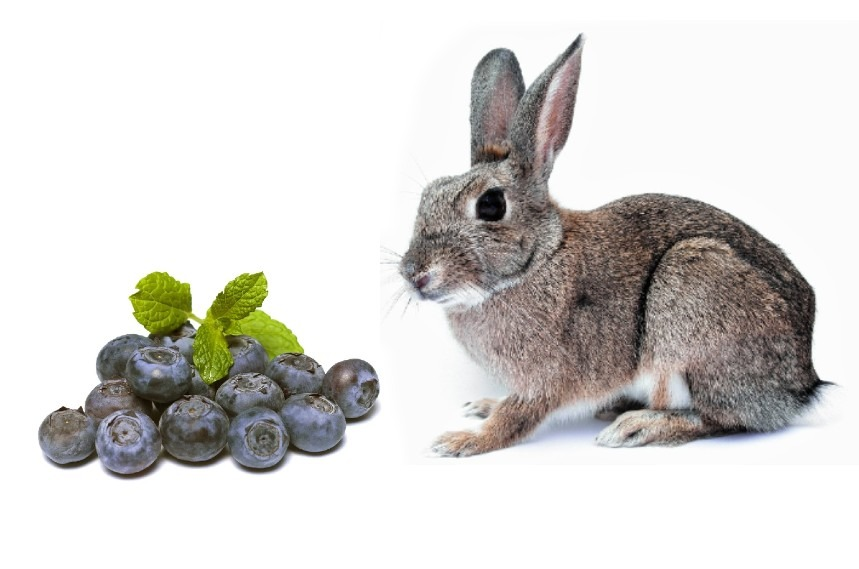 can rabbits eat blueberries