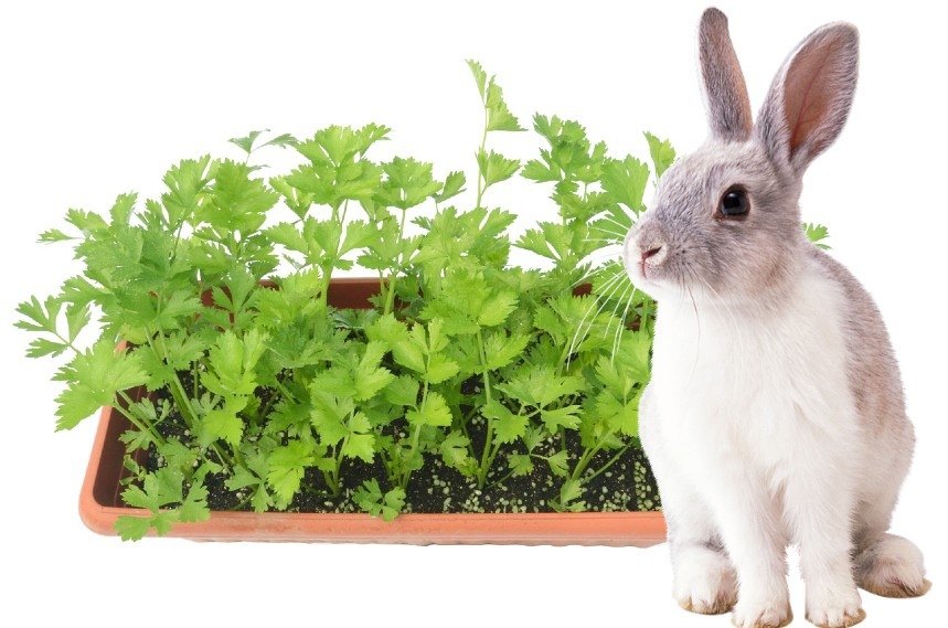 can rabbits eat celery