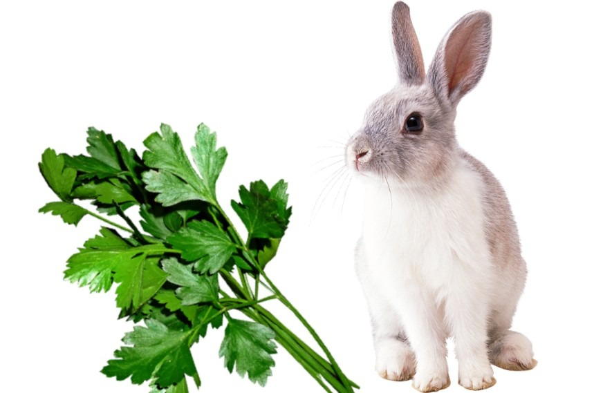 Can Rabbits Eat Parsley Let S Talk About Rabbits And Parsley