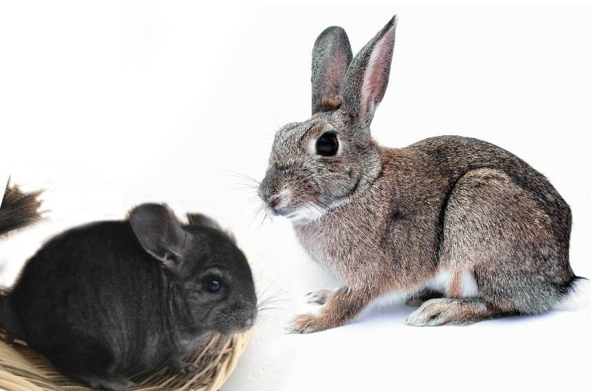 can rabbits and chinchillas live together