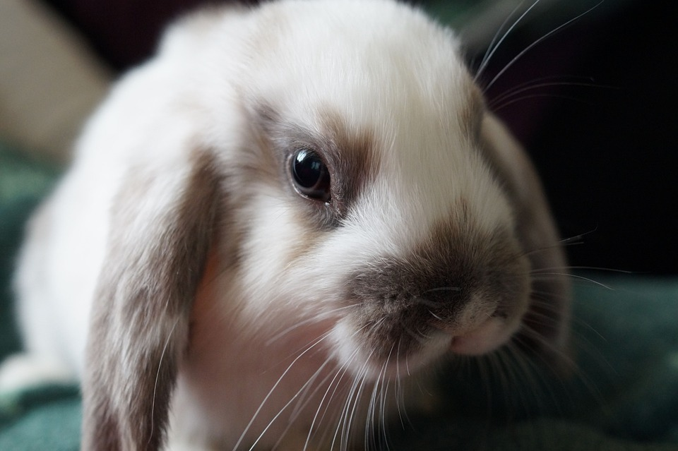 Are Rabbits Herbivores, Carnivores or Omnivores