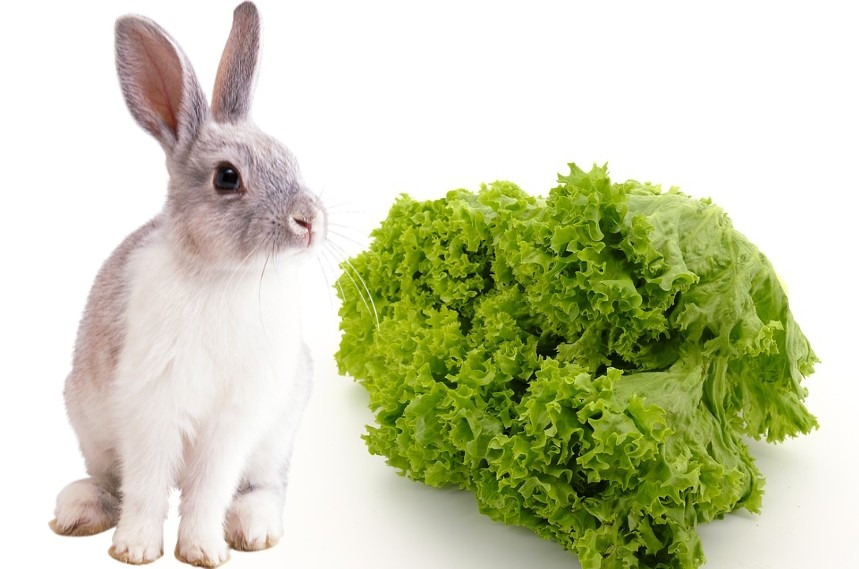 can rabbits eat lettuce