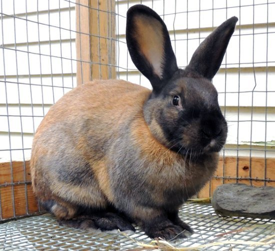 cinnamon rabbit - rabbit meat breed