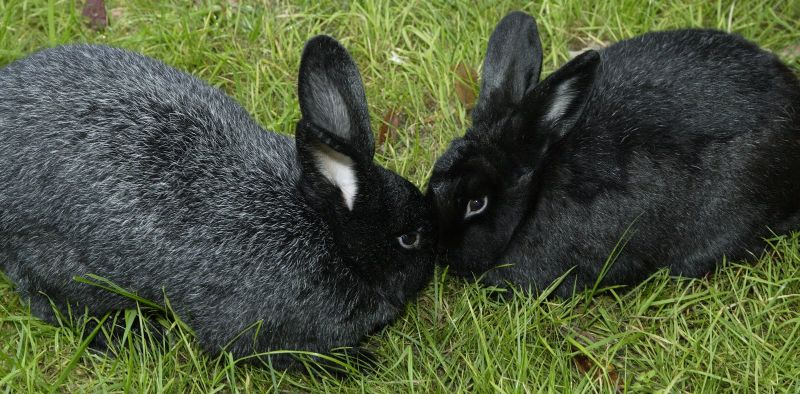 Silver Fox Rabbits