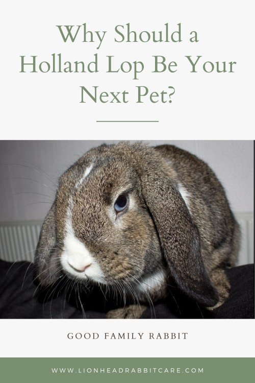 Is Holland Lop Bunny A Good Pet Everything You Need To Know