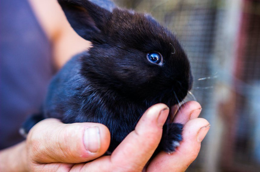 Havana Rabbit - Breed Facts, Lifespan, Colors, Care & More
