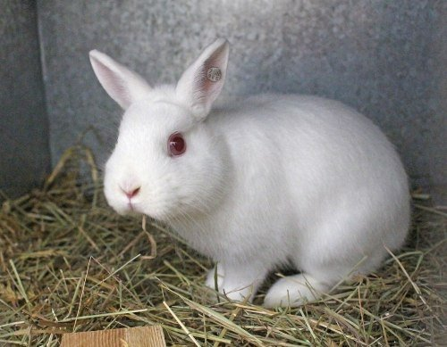 Albino Rabbit - White Rabbit With Red Eyes
