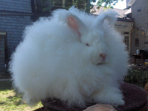 angora rabbits for sale ,  English, French, Giant, German.