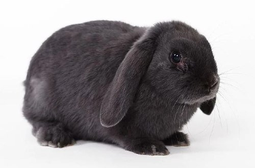 dewlap in rabbits