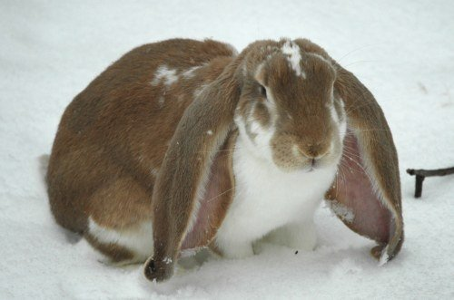 English lop and for sale info