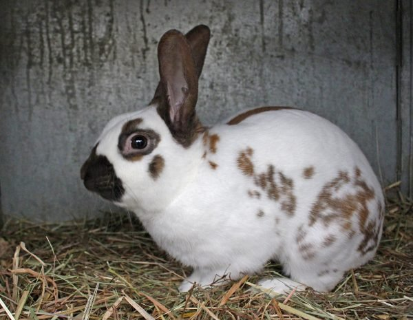 English Spot Rabbit - Colors, Size, Lifespan, For Sale & More