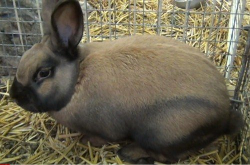 Thuringer Rabbit