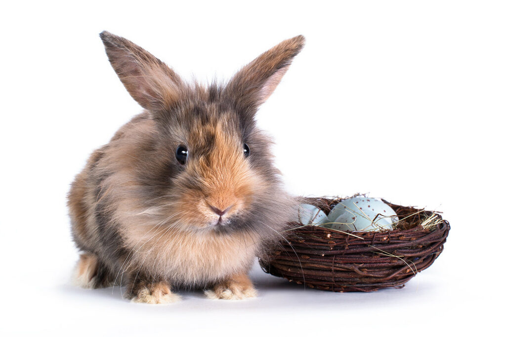 Harlequin Rabbit Breed