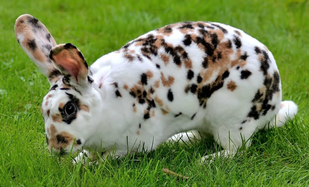 Rex Rabbit for sale in US